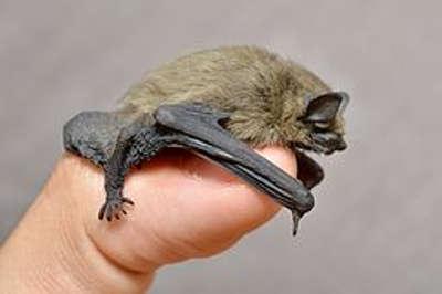 Dwergvleermuis (Pipistrellus pipistrellus; foto: Wikipedia)