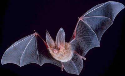 Vliegende vleermuis (foto: Wikipedia)