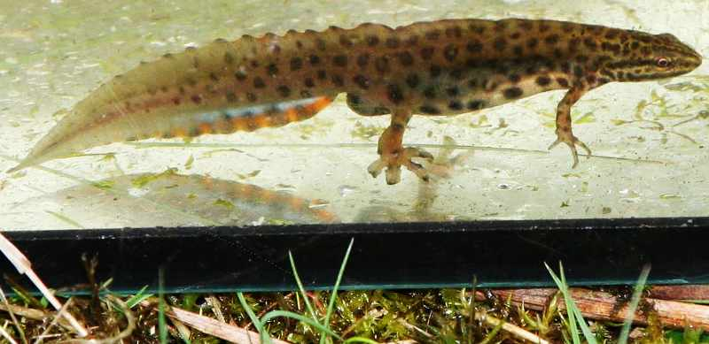 Waterplatform_Salamander
