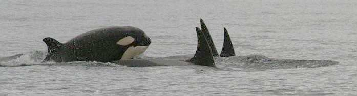 20080828_Orcas_Canada_Kees_van_der_Krift